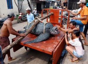 rùa quý hiếm nặng trên 150kg chết ngạt vì dính lưới giã cào Rùa quý hiếm nặng trên 150kg chết ngạt vì dính lưới giã cào 29bf99bed0e66adf0576ce7e2401df9a 300x217