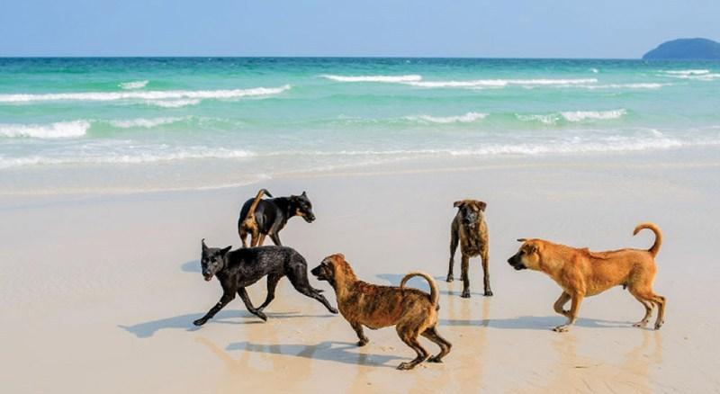 Chó Phú Quốc - Giống chó nổi tiếng nhất Việt Nam những cái nhất của phú quốc Những cái nhất của Phú Quốc – Nơi được đề xuất lên Thành Phố. Ch   Ph   Qu   c Gi   ng ch   n   i ti   ng nh   t Vi   t Nam