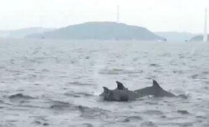 Cá heo đang nô đùa trên vùng biển Phú Quốc. Ảnh cắt ra từ clip  - Phú-Quốc-Thích-thú-với-cảnh-đàn-cá-heo-khoảnh-50-con-bơi-lội-tung-tăng-trên-biển - Phú Quốc: Thích thú với cảnh đàn cá heo khoảng 50 con bơi lội tung tăng trên biển.